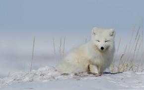 Картинка зима, снег, колоски, песец, полярная лиса