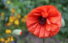 Картинка цветок, капли, красный, мак