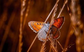 Картинка макро, бабочка, травинки, Червонец пятнистый