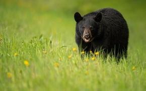 Картинка трава, черный, медведь, прогулка, барибал