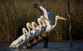 Картинка трава, вода, птицы, озеро, пруд, река, заросли, берег, крылья, лесенка, стая, ряд, парад, коряга, компания, ...