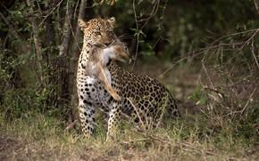 Картинка hunt, Lepard, rabbit