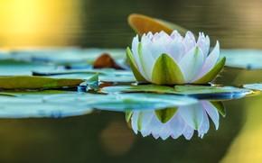 Картинка цветок, листья, вода, природа, озеро, пруд, отражение, кувшинка, белая, водоем, нимфея, водяная лилия, зеркальное