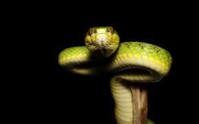 Картинка взгляд, змея, черный фон, зеленая, сук, рептилия
