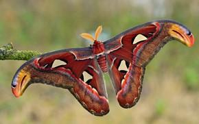 Обои макро, природа, фон, узор, бабочка, ветка, насекомое, форма, крылышки, усики, разноцветная, павлиноглазка, красно-коричневая