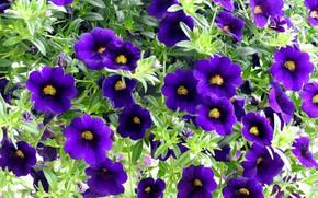 Картинка лето, цветы, петунии, фиолетовые петунии