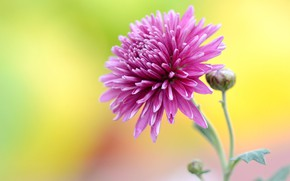 Картинка цветок, розовая, астра, желтый фон