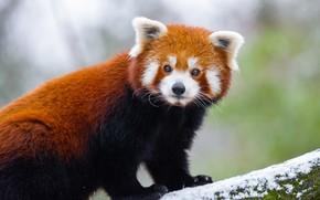 Картинка зима, взгляд, снег, природа, поза, фон, дерево, портрет, лапы, зверек, красная панда, мордашка, боке, малая …