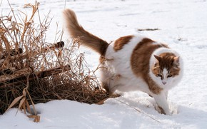 Картинка зима, поле, кошка, кот, снег, природа, трубы, поза, рыжий, сугробы, прогулка, пятнистый, сухая трава, рыжий …