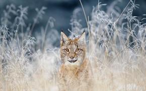 Картинка кошка, трава, природа, обыкновенная рысь