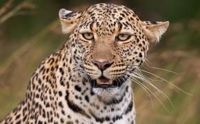 Картинка усы, взгляд, морда, портрет, хищник, леопард, дикая кошка