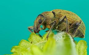Картинка макро, зеленый, фон, листок, жук, мохнатый, насекомое, жучок, долгоносик