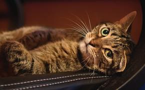 Картинка кошка, кот, взгляд, морда, фон, мебель, лежит, полосатый, зеленые глаза, эффектный