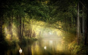 Картинка природа, парк, лебеди