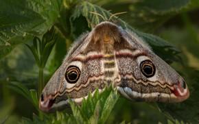 Картинка листья, макро, фон, узор, бабочка, растение, насекомое, крылышки, мохнатая, павлиноглазка