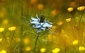 Обои лютиковые, чернушка дамасская, растение