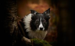Картинка взгляд, морда, фон, дерево, мох, собака, Бордер-колли