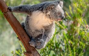 Картинка дерево, мишка, коала