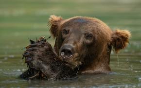 Картинка морда, вода, медведь, купание, водоем, бурый