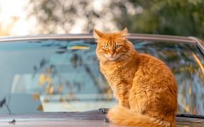 Картинка машина, осень, кошка, кот, взгляд, стекло, ветки, отражение, фон, рыжий, автомобиль, сидит, боке, лобовое