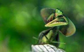 Картинка взгляд, макро, поза, зеленый, фон, размытие, богомол, насекомое, боке
