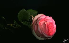 Картинка роза, чёрный фон, розовая роза