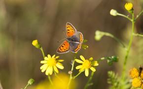 Картинка макро, цветы, фон, узор, бабочка, оранжевая, желтые, насекомое, крылышки, размытый