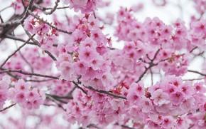 Картинка spring, цветение, bloom, cherry, blossom, pink, сакура, sakura, ветки, весна