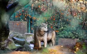 Картинка осень, волк, зоопарк