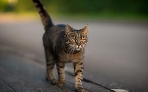 Картинка дорога, кошка, кот, серый, улица, плитка, хвост, прогулка, тротуар, полосатый, котэ, деловой, гуляка