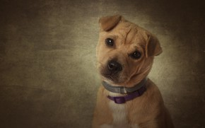 Картинка взгляд, фон, портрет, собака, щенок, мордашка, пёсик, ошейники