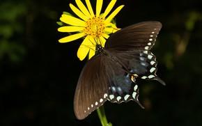 Картинка фон, бабочка, жёлтый цветок