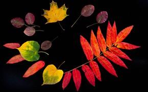 Картинка осень, листья, черный фон, гербарий