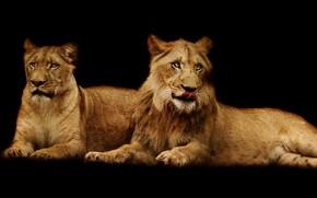 Картинка язык, поза, лев, пара, черный фон, львы, львица, дуэт, два, морды, лежат