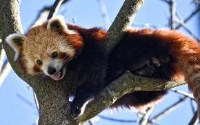 Картинка ветки, природа, дерево, животное, красная панда, малая панда