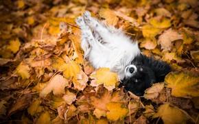 Картинка осень, листья, поза, листва, собака, лежит, собачка, малышка, золотая осень, резвится, папийон, папильон