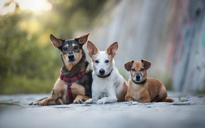 Картинка собаки, взгляд, фон, щенки, щенок, три, трио, друзья, лежат, мордашки, троица, втроем, три собаки