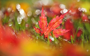 Картинка осень, трава, лист, клён, блик