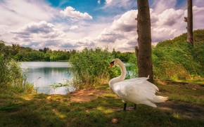Обои облака, озеро, птица, камыш, лебедь