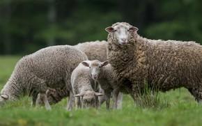 Картинка трава, овцы, пастбище, овечки, овца, ягнята, пасутся