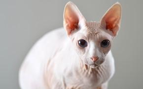 Картинка кошка, кот, взгляд, фон, мордочка, уши, сфинкс