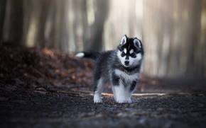 Обои дорога, лес, взгляд, листья, свет, деревья, поза, парк, серый, фон, листва, собака, малыш, щенок, прогулка, ...