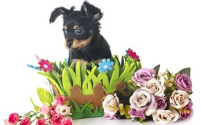 Картинка взгляд, цветы, собака, щенок, композиция, Чихуахуа