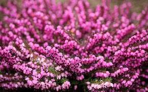 Картинка цветы, поляна, размытие, весна, розовые, цветение, много, боке, вереск