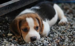 Картинка взгляд, собака, мордочка, щенок, лежит, puppy, dog, little, looking, beagle