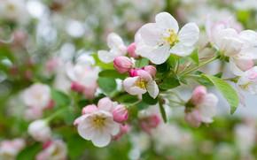 Картинка цветы, ветки, весна, яблоня, цветение, яблоневый цвет