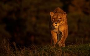 Картинка свет, природа, поза, прогулка, львица, дикая кошка