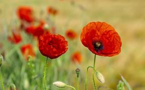 Картинка поле, лето, цветы, природа, фон, мак, маки, лепестки, красные, парочка, бутоны, алые, два, красавцы
