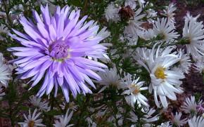 Картинка осень, капли, хризантемы, Астра