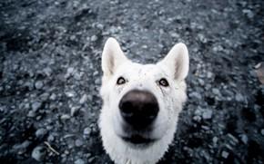 Картинка собака, нос, сидит, dog, nose, is sitting